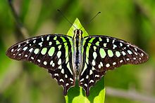 Green Colored Butterflies ~|~ Butterfly Colors