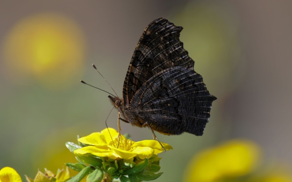 Myths Symbolism And Meaning Of Black Butterflies