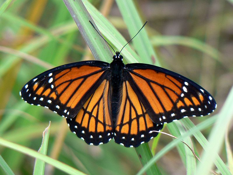 Viceroy butterfly - Limenitis archippus - orange colored butterfly species