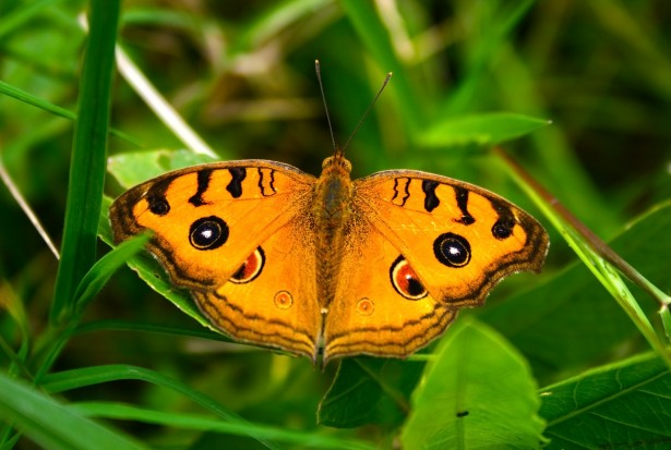 myths symbolism and meaning of orange butterflies