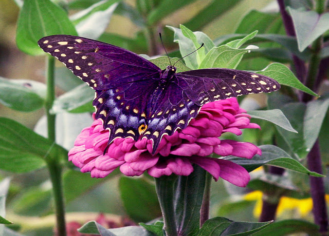 Myths Symbolism And Meaning Of Purple Butterflies