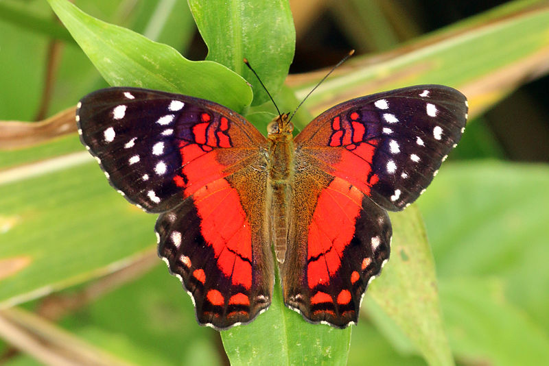 Scarlet peacock - anartia amathea - red colored butterfly species