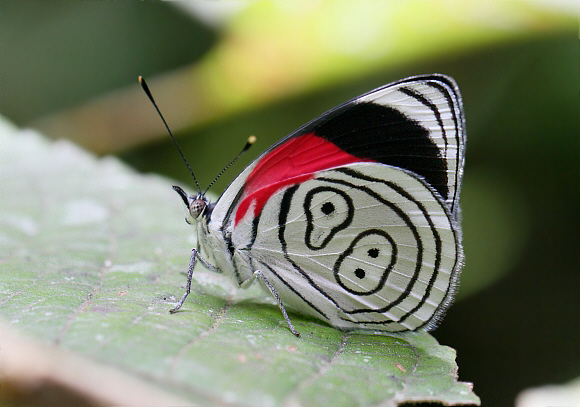 The 88 Butterfly