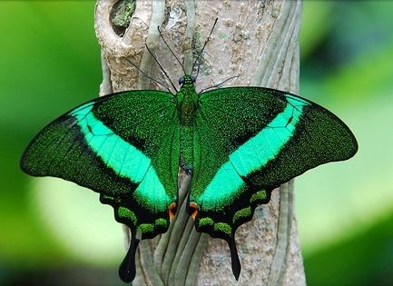 Emerald peacock swallowtail Butterfly