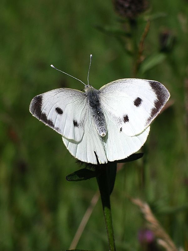 Myths Symbolism And Meaning Of White Butterflies
